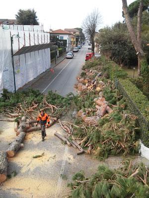 Visione aerea di un intervento di emergenza per la rimozione di pini caduti in seguito ad un evento meteorologico eccezzionale