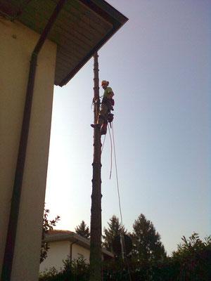 Abbattimento controllato di un abete con tecnica tree climbing - Marco Montepietra