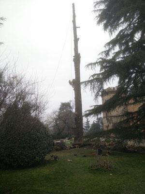 Abbattimento controllato del grosso fusto di un cedro secolare - Marco Montepietra