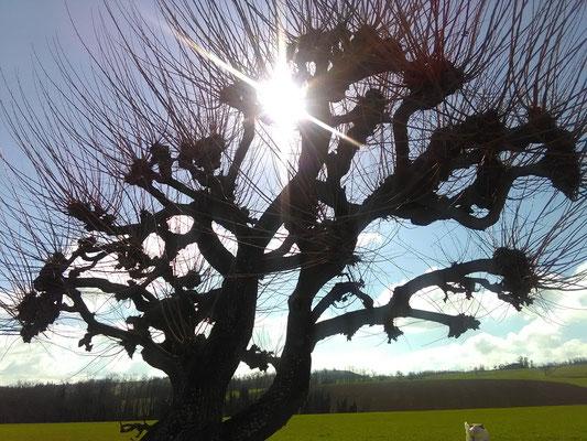 Forma caratteristica del paesaggio agreste: gelso allevato in forma obbligata