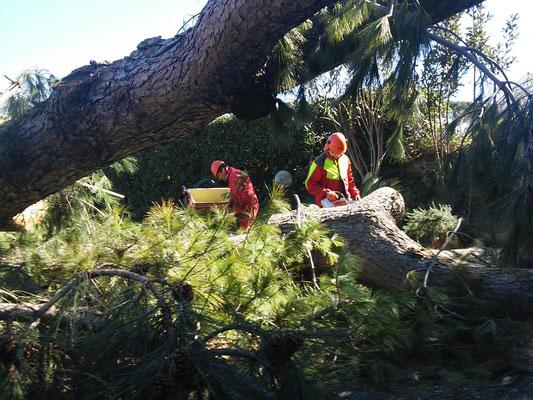 Rimozione di pino caduto