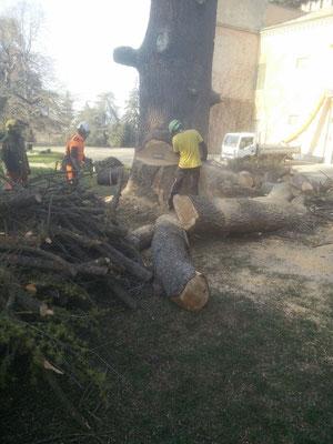 Grande ''tacca'' di abbattimento su di un grosso cedro - Marco Montepietra, Stefano Lorenzi e Massimo Turci