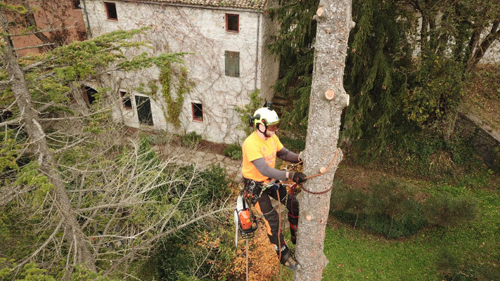 Risalita con ramponi durante abbattimento controllato in tree climbing - Marco Montepietra