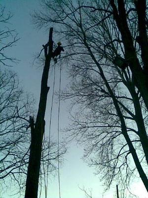 Abbattimento controllato di una  robinia con tecnica tree climbing - Marco Montepietra