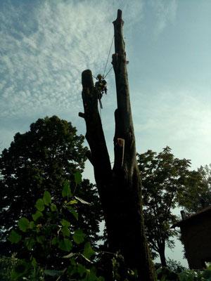 abbattimento di un tiglio con tecnica tree climbing - Marco Montepietra