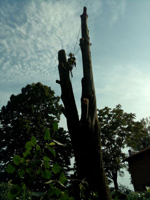 Fasi conclusive di un intervento di abbattimento controllato su di un tiglio, mediante tecnica tree climbing - Marco Montepietra