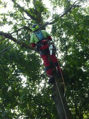 Abbattimento di un castagno in prossimità di linea elettrica con tecnica tree climbing - Marco Montepietra