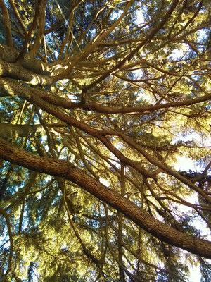 Interno della chioma di un cedro secolare