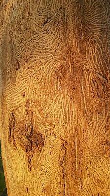 Traccia dell'attività di insetti scolitidi su olmo secco