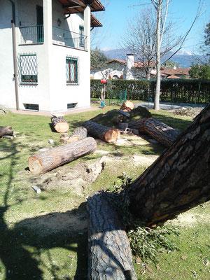 Particolare del tronco inclinato di un pino in seguito a ribaltamento