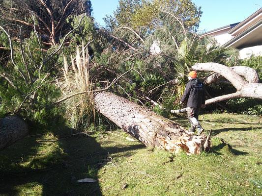 Cedimento alla base del tronco di un pino