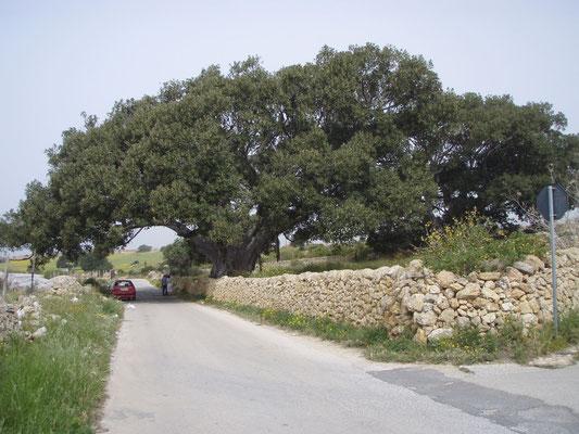 Ficus plurisecolare