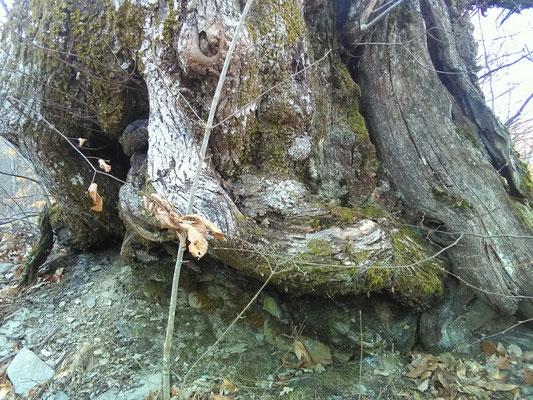 La grande base del tronco di un castagno secolare