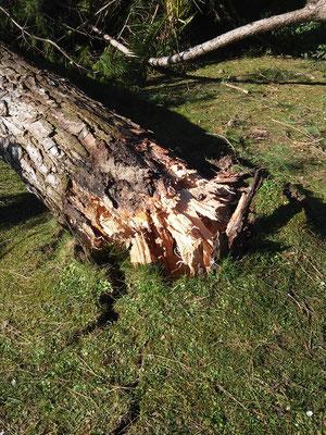 Dettaglio delle fibre legnose spezzate alla base di un pino crollato su di una abitazione