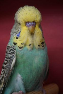 Schauwellensittich | 1.0 Australisches Gelbgesicht Hellblau