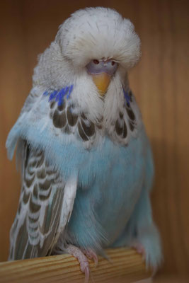 Schauwellensittich | 0.1 Zimt Opalin Hellblau