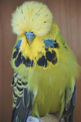 Zuchtvogel