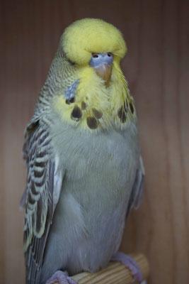 Schauwellensittich | 0.1 Australisches Gelbgesicht Zimt Grau
