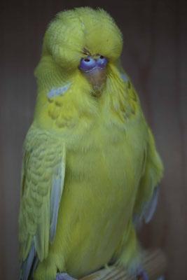 Schauwellensittich | 1.0 Zimt Gelb Graugrün