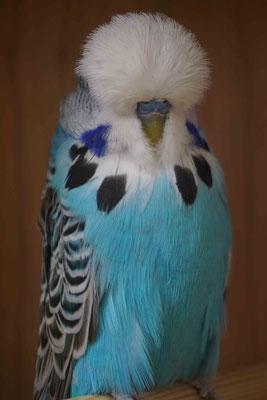 Ausstellungsvogel