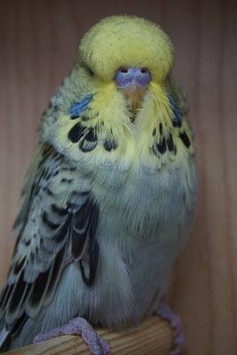 Schauwellensittich | 0.1 Australisches Gelbgesicht Opalin Grau
