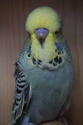 Schauwellensittich | 1.0 Australisches Gelbgesicht Grau