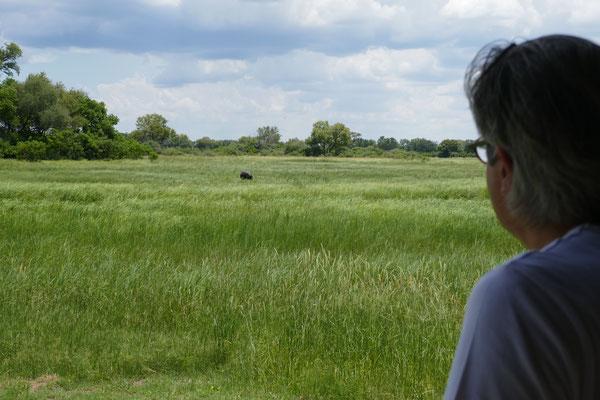 Hippos in Sichtweite unseres Zeltes