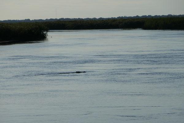 Krokodil durchquert den Fluß