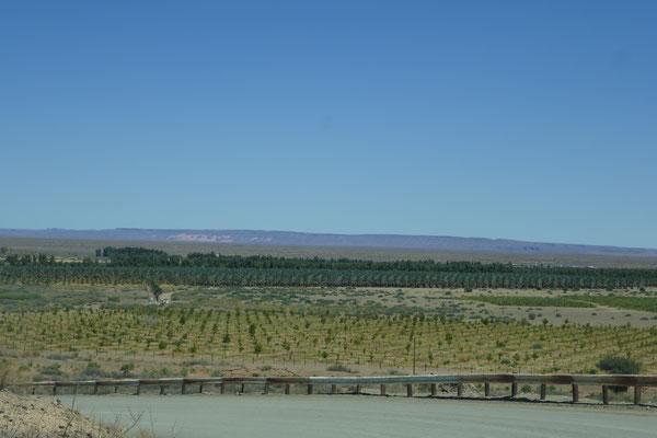 Unglaublich viele Weinstöcke und Palmen