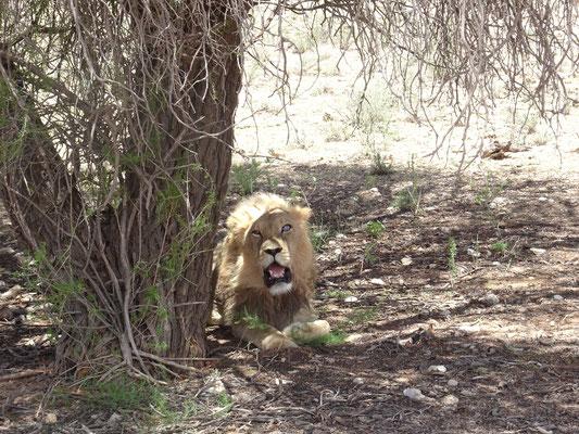 Löwe mit blindem Auge