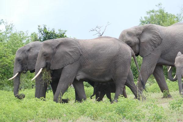 Suchbild: wo hat sich ein kleiner Elefant versteckt?