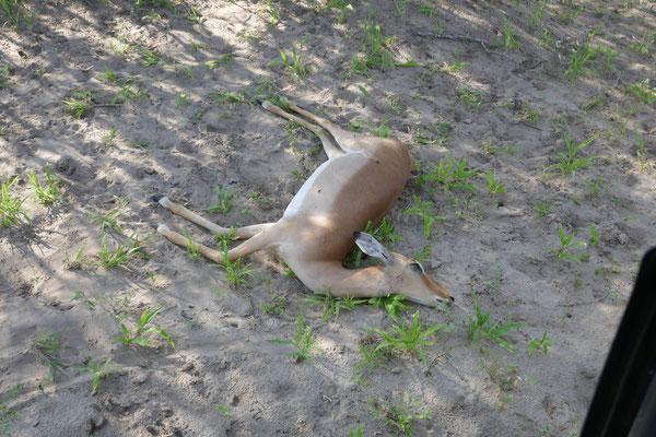 Die drei Geparden haben ein Impala erlegt, sie fühlten sich von uns gestört und verschwanden ersteinmal in die sichere Umgebung