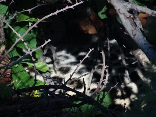 Sehr gut versteckt im Dickicht: Leopardenmutter mit ca. 3 Tage alten Jungen