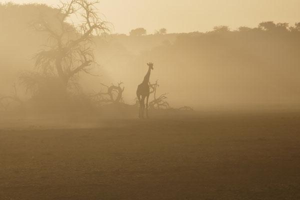 Aufgewirbelter Sand vom Flußbett läßt die Giraffe surreal wirken