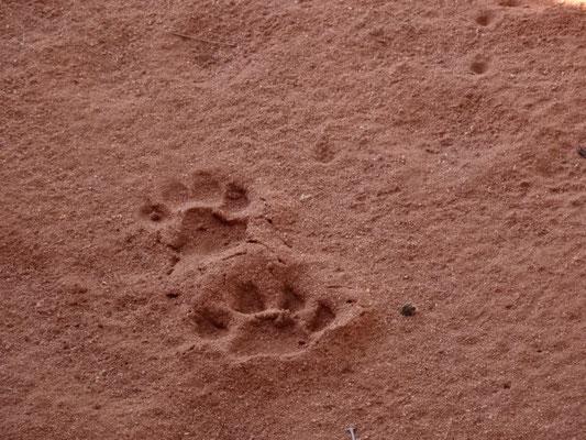 Leopardenspuren im Sand