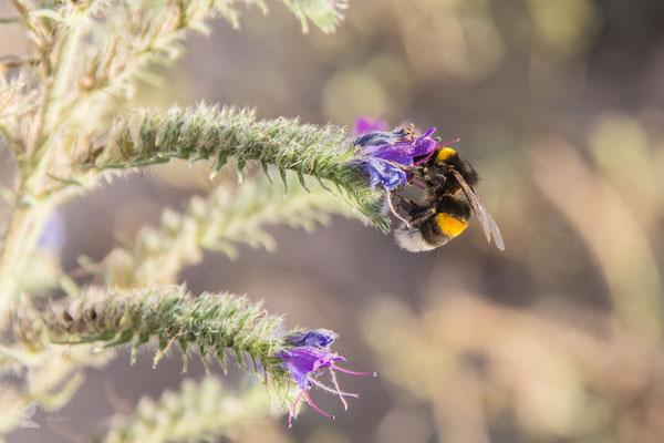 Hummeln stehen ganz oben auf dem Speiseplan der Bienenfresser