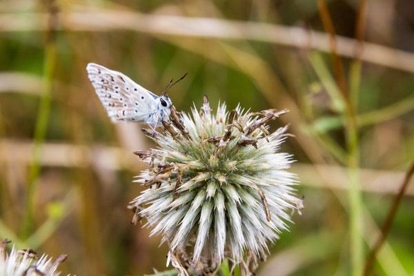 Insekt des Jahres 2015, der silbergrüne Bläuling (Lysandra coridon)