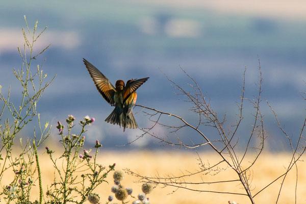 Bienenfresser (Mores apiaster)