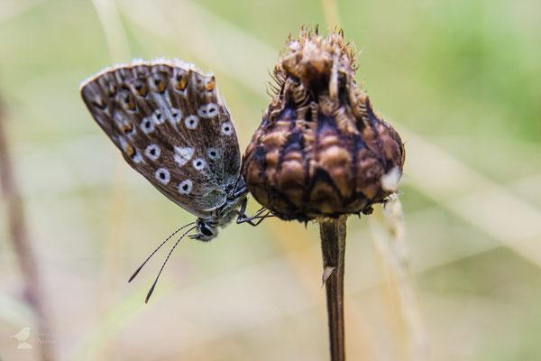 Der Gemeine Bläuling oder auch Hauhechel-Bläuling (Polyommatus icarus)