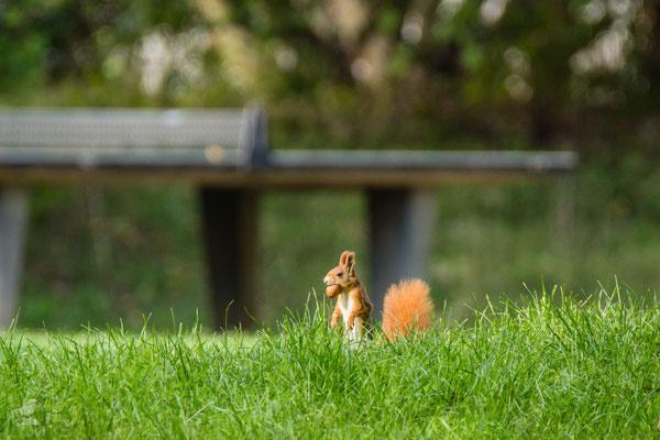 Das Eichhörnchen hat leider keine Nerven für Tischtennis