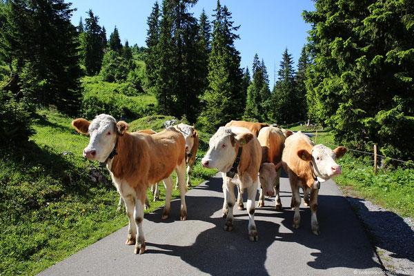 und neugierige, freundliche Kühe, die unseren Weg kreuzen.