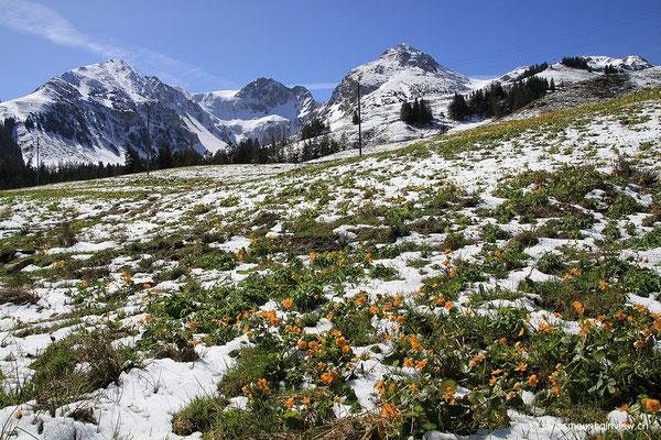 Wunderschön, die Frühlingsblumen im Winterkleid.