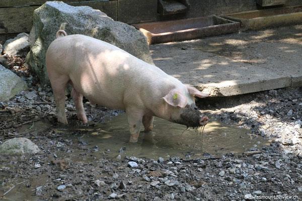 Auch hier gibt es glückliche Schweine