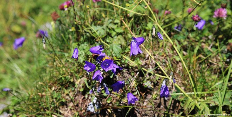 Alpenblumen den Wegesrand.