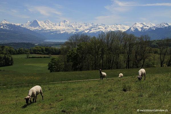 Die Schafe wissen gar nicht, wie glücklich sie sich schätzen können, weiden mit dieser Aussicht.