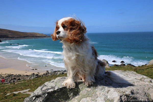 Cavalier King Charles Spaniel Charly in St. Ives