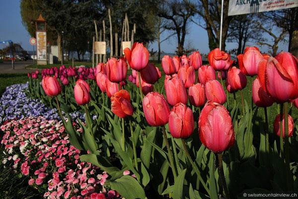 Gleiche Tulpen im Morgentau und -licht