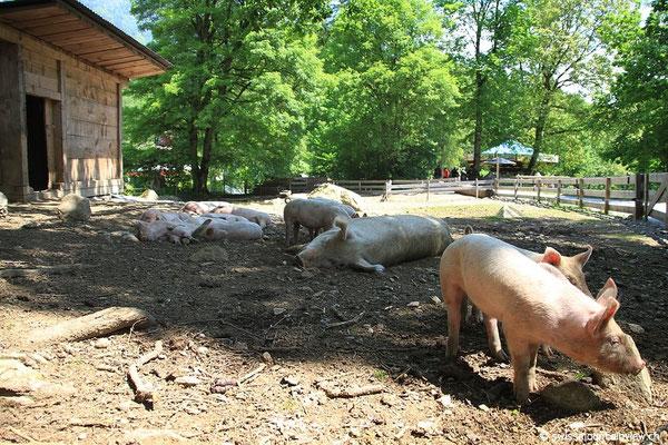 Schweineleben auf dem Ballenberg... es gibt Schlimmeres ;)