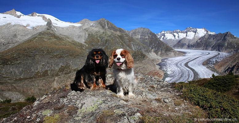 swissdoggies beim Aletschgletscher