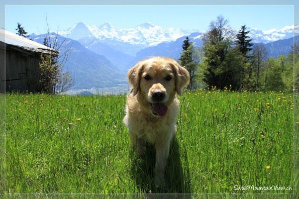 swissdoggies - Roxy durfte uns auf dem Spaziergang begleiten
